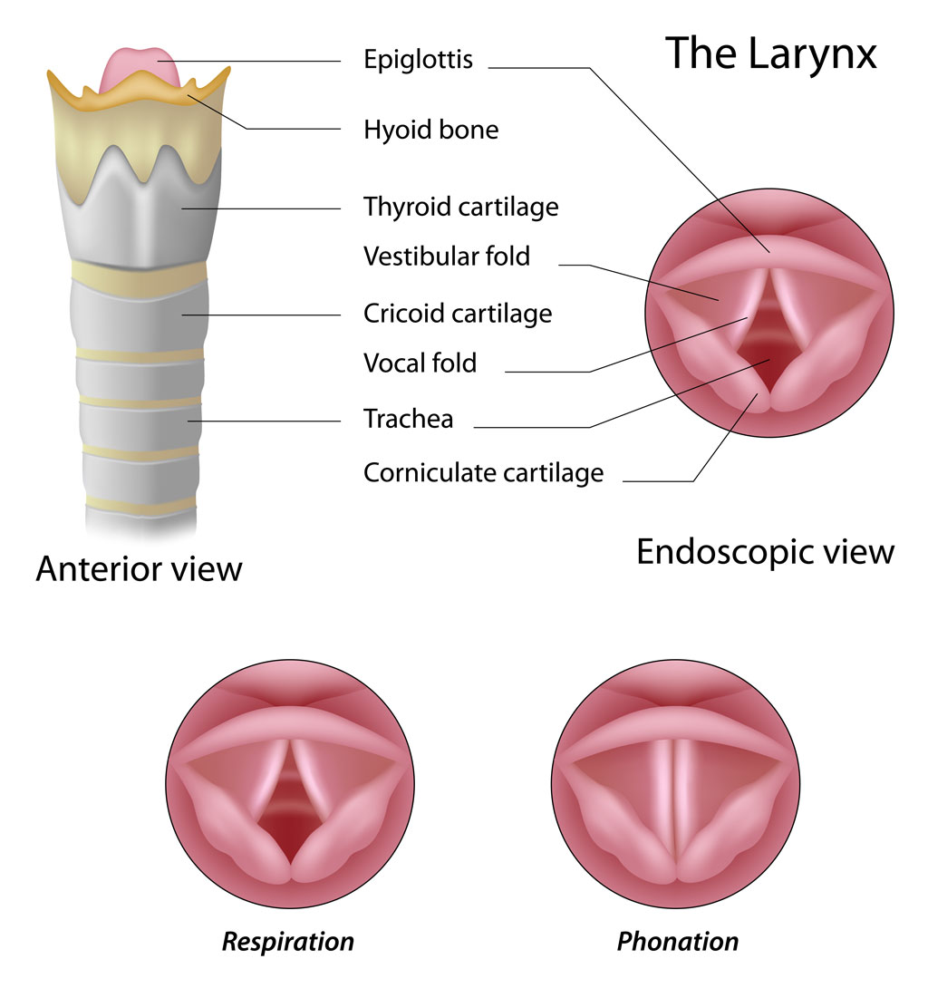 Larynx-anatomy-copy - Pediatric Pulmonologists
