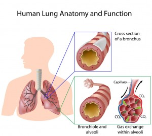 Anatomy of a childs lung pediatric pulmonologists normal air flow to the lungs ccuart Image collections