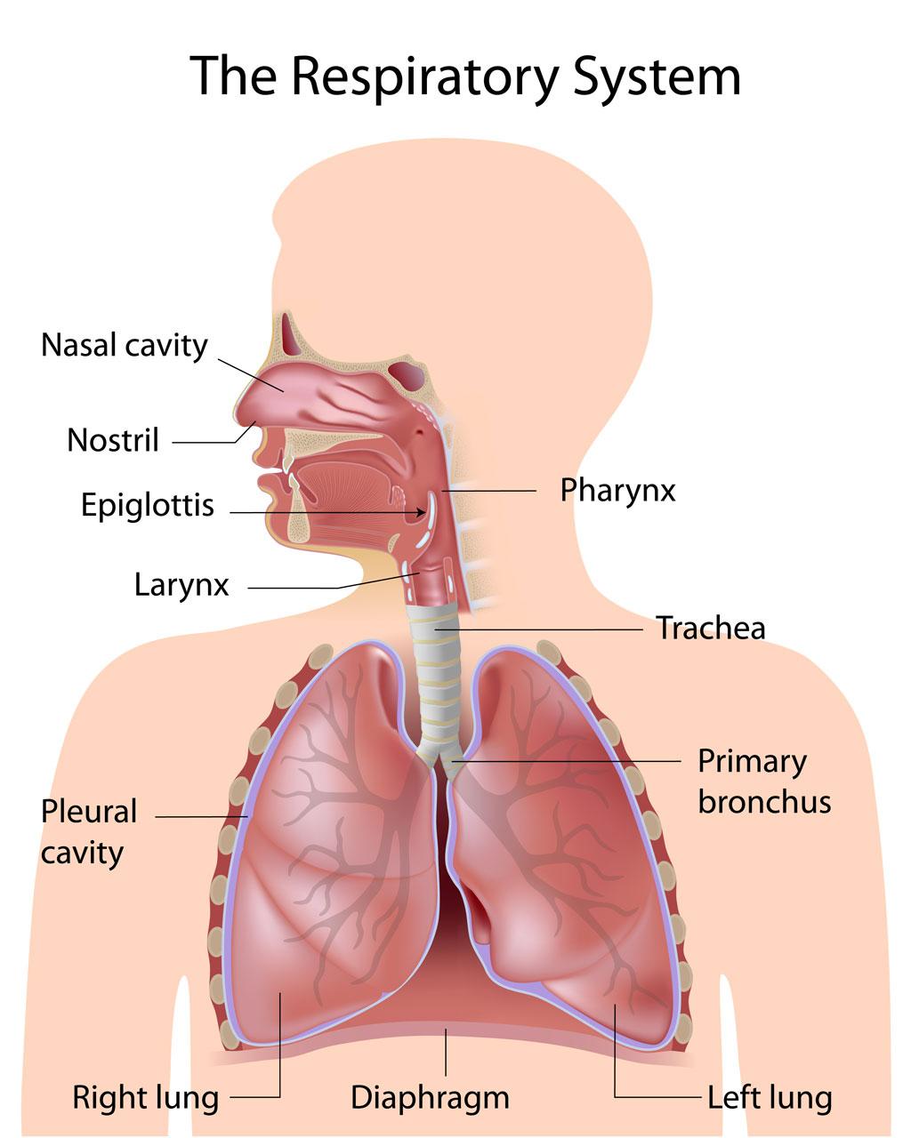 Child respiratory system - Pediatric Pulmonologists