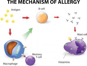 Mast cell release histamine allergic rhinitis