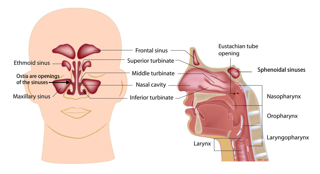 anatomy-sinus-nose-turbinates - Pediatric Pulmonologists