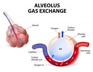 gas exchange between lungs and blood